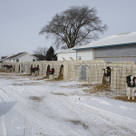 genetic-futures-calf-care-winter