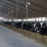 genetic-futures-cows-large-facility-housing