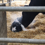 genetic-futures-cows-mother-calf-newborn