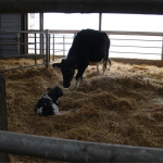 genetic-futures-cows-mother-calf